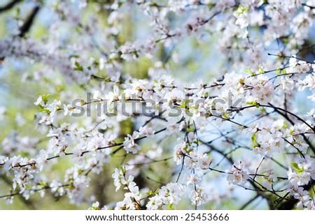 Sakura spring blossoms, shallow DOF. Natural bacground - stock photo