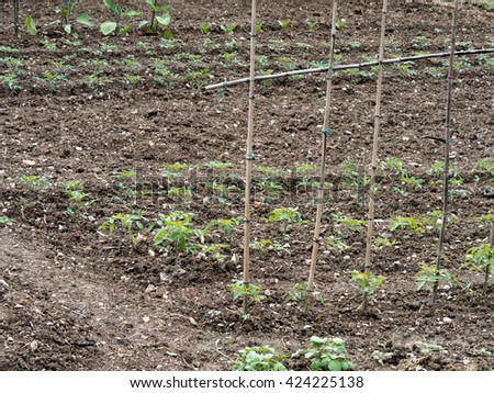 Salad crops planted in vegetable plot. Good soil. - stock photo