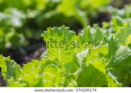 Salad leaves with Green Oak,  Red Leaf Lettuce - stock photo