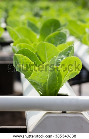 salad plant in hydroponic techniques - stock photo