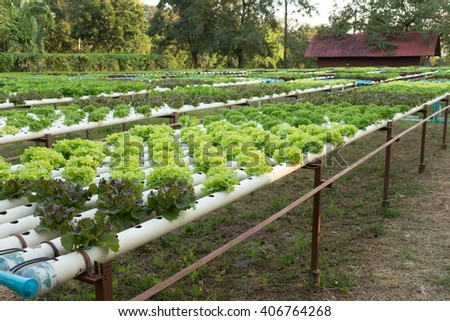Salad's hydroponic vegetables farm
