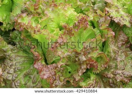 salad vegetable