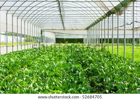 Salad vegetable and lettuce in glasshouse