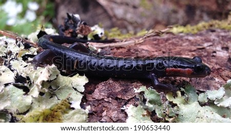 Salamander in Great Smoky Mountains National Park - stock photo