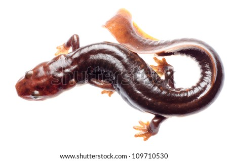 salamander newt - stock photo