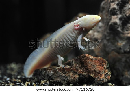 salamander newt, amphibia - stock photo