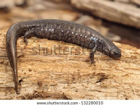 Salamanders - A huge gravid or pregnant Smallmouth Salamander, Ambystoma texanum - stock photo