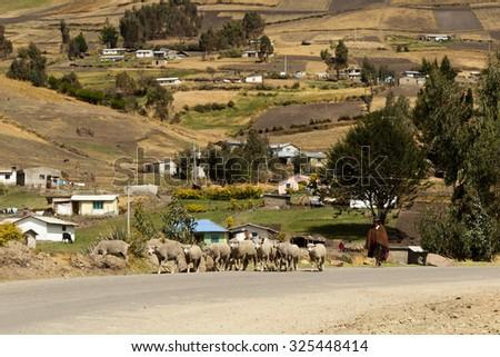 Salasaca, Ecuador - 16 October 2012: Old Woman Herding Sheep In Salasaca On October 16, 2012 - stock photo