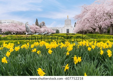 Salem Oregon Spring Daffodils, City Center Park and Beautiful Pink Cherry Trees in Bloom in Spring