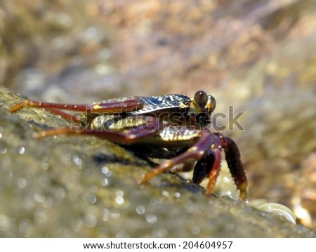 Sally-light-foot crab (shore-crab, crustacean) on a rock above water