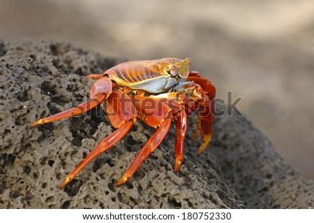 Sally Lightfoot Crab, Galapagos Islands, Ecuador - stock photo