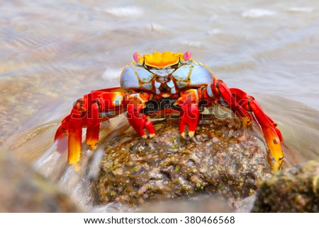 Sally lightfoot crab (Grapsus grapsus) on Chinese Hat island, Galapagos National Park, Ecuador - stock photo