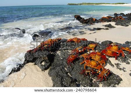 Sally Lightfoot Crabs - Galapagos - Ecuador - stock photo