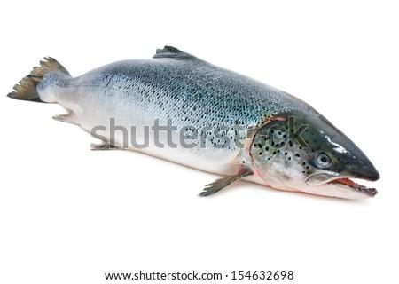 Salmo salar. Atlantic salmon on the white background - stock photo