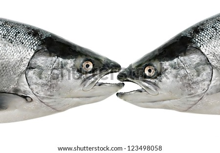 Salmon fish eat fish isolated on white