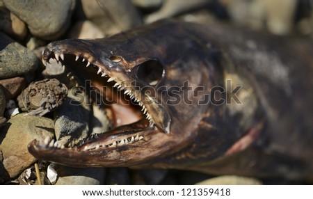 Salmon Head Carcass - stock photo