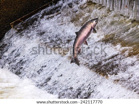 Salmon Jumping Dam Issaquah Hatchery Washington.  Salmon swim up the Issaquah creek and caught in the Hatchery where they will be killed for their eggs and sperm to create more salmon. - stock photo
