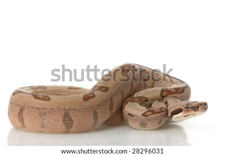 Salmon Jungle Red-tailed Columbian Boa (B. c. constrictor) isolated on white background. - stock photo