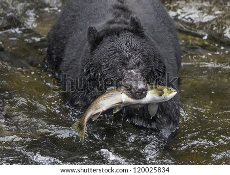 Salmon Surprise - Wasn't this salmon surprised to be grabbed out of the water in the clutches of a black bear. Anan Creek, Wrangell, Alaska - stock photo