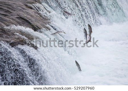 Salmons jumping to cross the waterfalls during salmon run at Brook Falls, Katmai National Park, AK