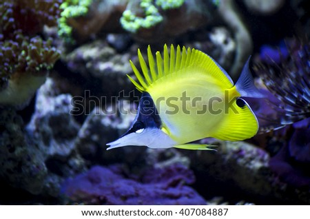 Blue fish striped yellow stock photos royalty free images for Yellow fish tank water