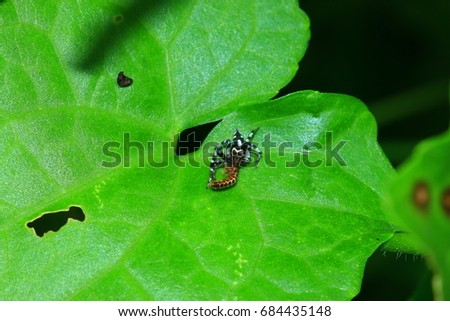 Salticidae in the nature