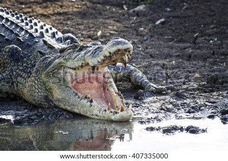 Saltie with open Jaws - stock photo