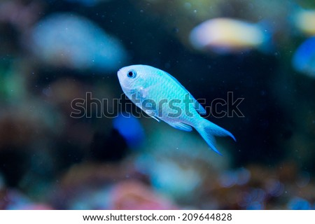 saltwater aquarium fish - Chromis virdis - stock photo