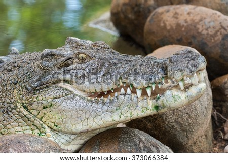 Saltwater crocodile, Crocodylus porosus, Queensland, Australia - stock photo