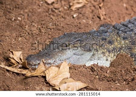 Saltwater Crocodile on Land - stock photo