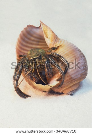 Saltwater Hermit Crab Trying to Turn Over It's Shell - stock photo