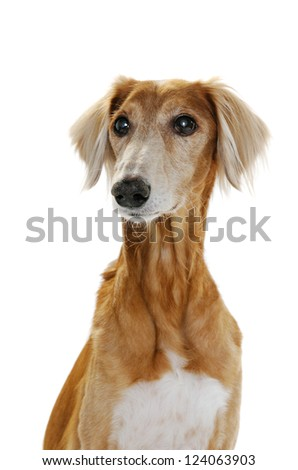Saluki dog, 14 years old, on front of white background