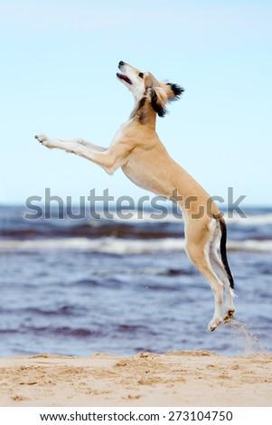 saluki puppy jumping up - stock photo