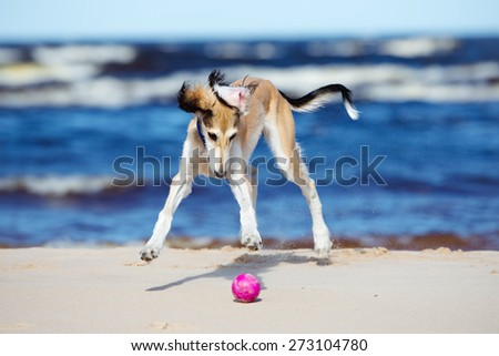 saluki puppy standing on white
