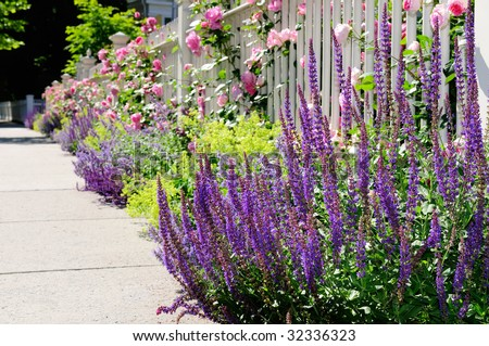 Salvia close-up in flower bed, bordering white fence and sidewalk on front yard of residential house entrance. Pink roses, catmint, lady's mantle, a very colorful, beautiful garden - stock photo