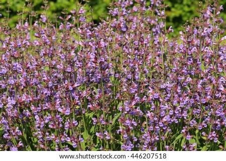 Salvia officinalis blooming - stock photo