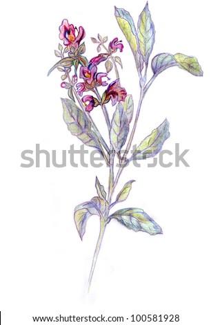 Salvia officinalis. Drawing pencils. - stock photo