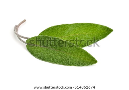 Salvia officinalis leaves (sage, also called garden sage, or common sage).  Isolated on white background.
