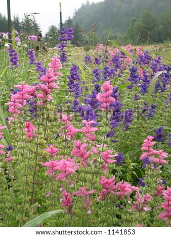 Salvia Plants - stock photo