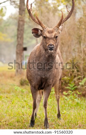 sambar deer at PhuKradueng National park Thailand