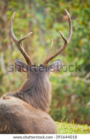 sambar deer is a large deer native to the Indian subcontinent, southern China and Southeast Asia