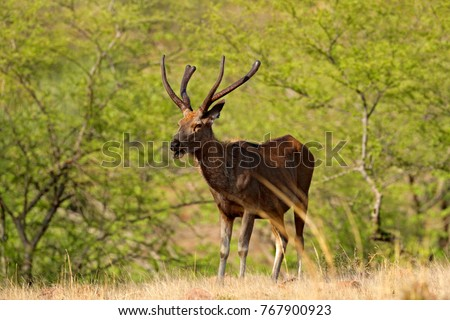 Sambar deer, Rusa unicolor, large animal, Indian subcontinent, Rathambore, India. Deer, nature habitat. Bellow majestic powerful adult animal in dry forest, big animal, Asia. India wildlife.