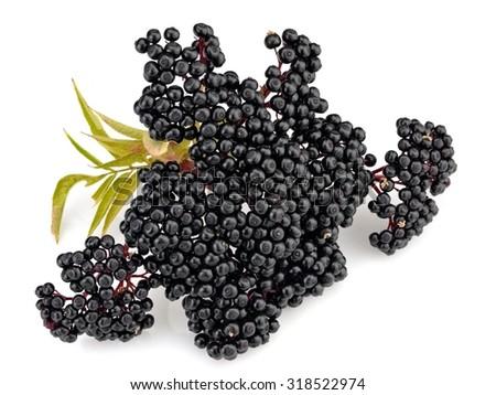 Sambucus Ebulus (Elderberry) - stock photo
