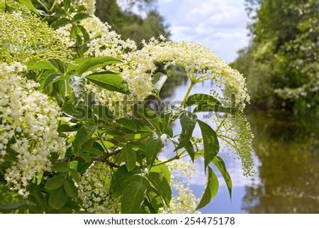 Sambucus (elder or elderberry) in Springtime. - stock photo