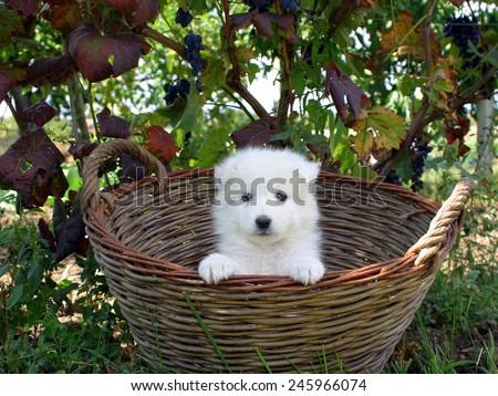 Samoyed - stock photo