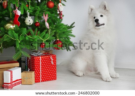 Samoyed dog in room near Christmas tree on white wall background - stock photo