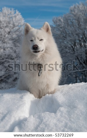 Samoyed Dog in winter. snow and cold - the perfect weather for him!