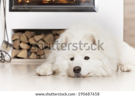Samoyed dog lying on a floor at home by fireplace  - stock photo
