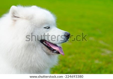 samoyed dog on a green grass
