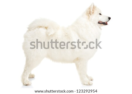 Samoyed dog on white background - stock photo